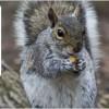 scoiattolo-grigio-fisna-ispra