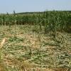 danni cinghiale agricoltura