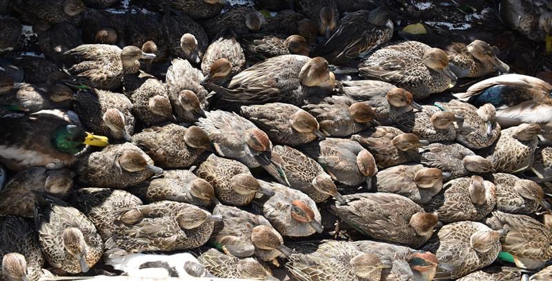 Valle Mandriole - Parte degli anatidi (maggior parte Alzavole) recuperati ancora vivi dai cacciatori (foto R. Aguzzoni)